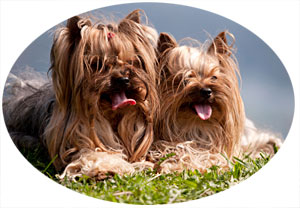 Training a Yorkshire Terrier