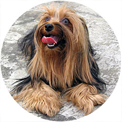 Yorkie Barking Is Your Yorkshire Terrier Barking