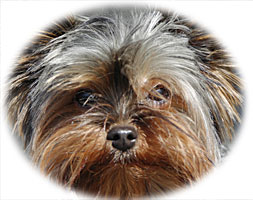 Yorkshire Terrier Health Problems