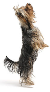 yorkshire terrier training