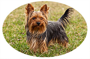 Yorkie Temperament