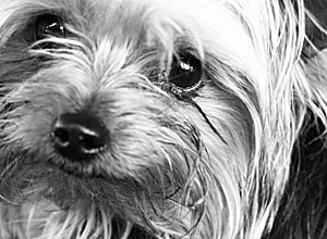 about yorkshire terriers
