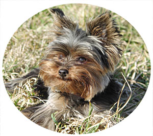 Yorkie Aggression